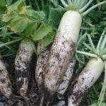 マインドガス畑プロジェクトで収穫した奇跡の大根を食す!