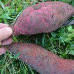 マインド畑で採れたお芋で感謝祭に向けて何かを作ってみよう!
