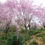 のんびりできる場所。大豊町の満開のしだれ桜は必見です。